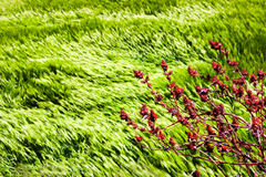 Wild red flowers on a background of wheat fields of emerald green in the Himalayan mountains. Nepal. Marfa Village.  stock photography