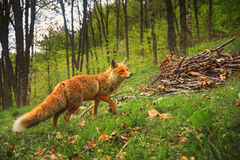 Wild red fluffy fox with curious look walks in the forest on gra Stock Photos