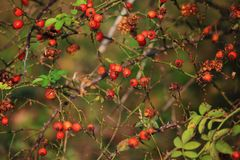 Wild Red Forest berries stock photo