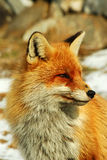 Wild red fox. The red fox (Vulpes vulpes) is a mammal of the order Carnivora. It has the widest range of any terrestrial carnivore, being native to Canada Stock Images