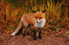 Wild red fox Stock Image