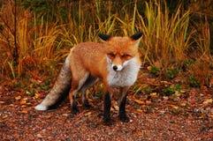 Wild red fox. Fox in its natural habitat stock image