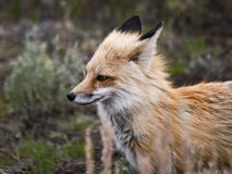 Wild Red Fox. A wild Red Fox roaming in Yellowstone State Park Stock Photography