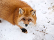Wild red fox. In snow looking upward Stock Images