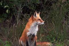Wild Red Fox. At the Jersey shore Stock Photography
