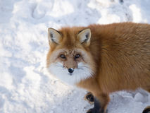 Wild red fox. In snow looking upward Stock Photo
