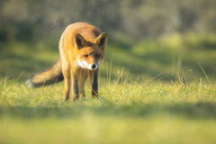 Wild red fox Autumn Colors Stock Images