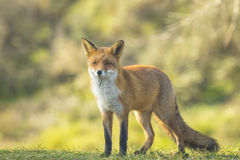 Wild red fox Autumn Colors Royalty Free Stock Photo