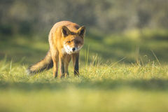 Wild red fox Autumn Colors Royalty Free Stock Image