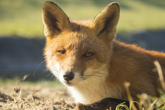 Wild red fox Autumn Colors Royalty Free Stock Photos