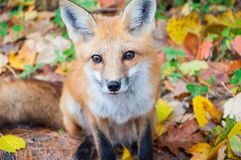 Wild red fox in autumn forest. Closeup portrait of a wild red fox Vulpes vulpes begging for food on road. Autumn time in Algonquin Park, Ontario, Canada Royalty Free Stock Images