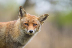 Wild red fox cub portrait Royalty Free Stock Photography