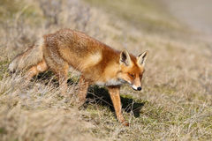 Wild red fox in the dunes. A wild red fox walking in the sun at the Amsterdamse Waterleiding Duinen (AWD) in Vogelenzang, North-Holland, The Netherlands Royalty Free Stock Photos