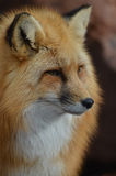 Wild Red Fox Face. Amazing face of a wild red fox Stock Image