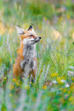 Wild red fox in green grass. Beautiful red fox portrait in the tall green grass and weeds of a field - colorado wildlife photography - nature and animals royalty free stock photos