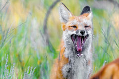 Wild red fox in green grass stock image
