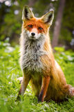 Wild Red fox. Red Fox in green grass with flowers Stock Photography