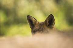 Wild red fox head close-up Royalty Free Stock Images