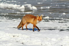 Wild red fox on ice. ( Vulpes vulpes ); this animal came at a hunting game call (rabbit in distress) walking on the frozen surface of a lake Royalty Free Stock Photo