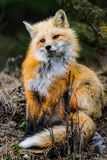 Wild Red Fox. Jasper National Park Alberta Canada Royalty Free Stock Image