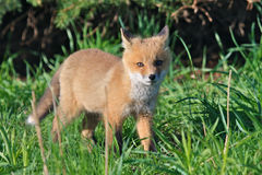 Wild Red Fox Kit. (Vulpes vulpes) standing in tall green grass at the edge of a meadow Royalty Free Stock Photography