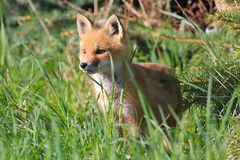 Wild Red Fox Kit. (Vulpes vulpes) standing in tall green grass at the edge of a meadow Stock Photos