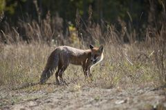 Wild red fox on the meadow. In the autumn time Stock Photography