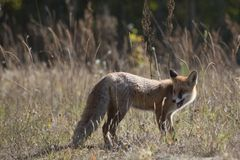 Wild red fox on the meadow. In the autumn time Royalty Free Stock Photos