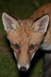 Wild red fox Stock Photos