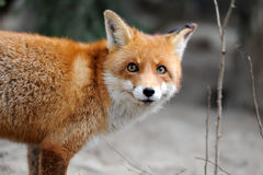 Wild red fox portrait Royalty Free Stock Photos