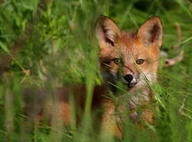Wild red fox puppy Royalty Free Stock Image