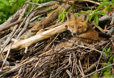 Wild red fox puppy Stock Images