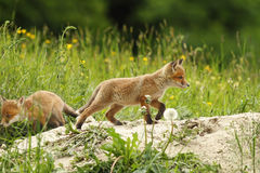 Wild red fox puppy Royalty Free Stock Photos