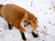 Wild red fox in snow. Looking a side Stock Photography