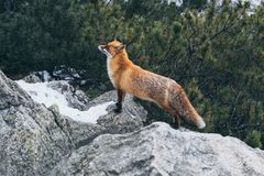 Free Wild Red Fox Standing On The Rock In High Tatra Mountains, Slovakia Stock Images - 168030344