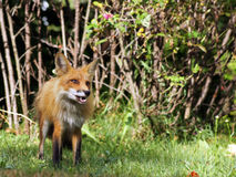 Wild red fox. Stares with her mouth open as she is surprised on the edge of the forest Stock Images