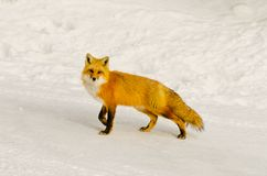 Wild Red Fox Vulpes vulpes with snow background