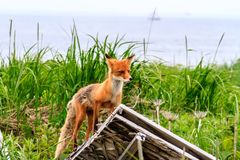 Wild Red Fox Vulpes vulpes beringiana standing on ruin of building. Kamchatka Peninsula, Russia stock photography