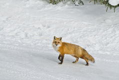 Wild Red Fox (Vulpes vulpes) with snow background Royalty Free Stock Photo