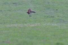 Red fox looking and hunting on a meadow for fieldmouse. Wild red fox walking on the meadow looking for food royalty free stock photo