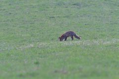 Red fox looking and hunting on a meadow for fieldmouse. Wild red fox walking on the meadow looking for food stock photos