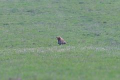 Red fox looking and hunting on a meadow for fieldmouse. Wild red fox walking on the meadow looking for food stock photography