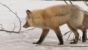 Wild red fox in winter walking through forest