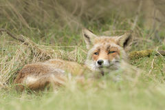 Wild red fox Royalty Free Stock Images