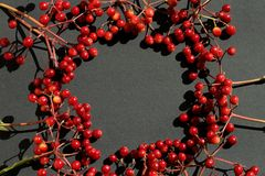 Wild red fruit on black background. In sunlight in autumn, design material of holiday royalty free stock image