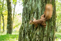 Wild red-haired squirrel on a tree in the forest. Space for text stock photography