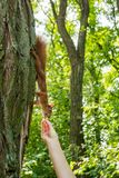 A wild red-haired squirrel on a tree in a forest takes a nut from a man`s hand. Vertically stock photos
