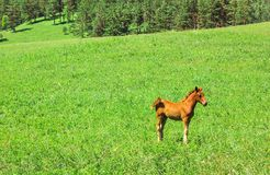 Wild red horse on a green background, lamb graze in the Meadow stock image