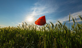 Wild red lonely poppy flower in field of barley in summer Royalty Free Stock Photos