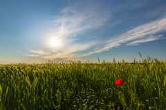 Wild red lonely poppy flower in field of barley in summer Royalty Free Stock Photography